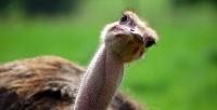 <b>Скидка до 54%.</b> Экскурсия постраусиной ферме спосещением контактного зоопарка для двоих или компании оттуристического комплекса «Татарский страус»