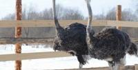 <b>Скидка до 54%.</b> Экскурсия постраусиной ферме спосещением зоопарка оттуристического комплекса «Татарский страус»