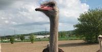 <b>Скидка до 57%.</b> Экскурсия постраусиной ферме отсафари-парка «Аристей»