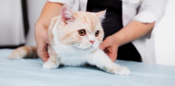 Стрижка, мытье кошки, стрижка когтей вкабинете Екатерины Кувшиновой