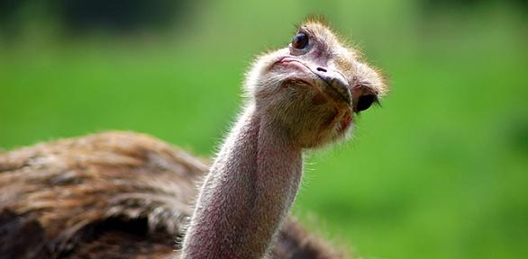 Экскурсия постраусиной ферме откомплекса «Татарский страус»