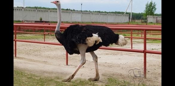 Экскурсия настраусиную ферму «Русский страус»
