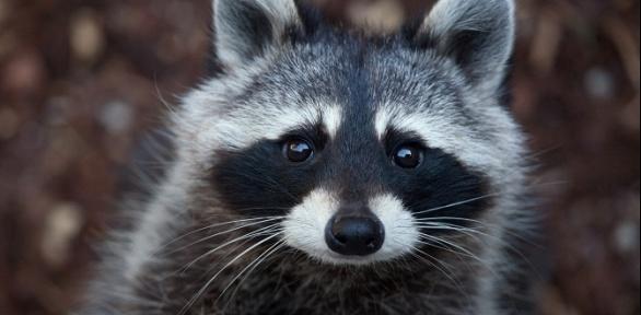 30или 45минут посещения контактного зоопарка «Планета енотов»